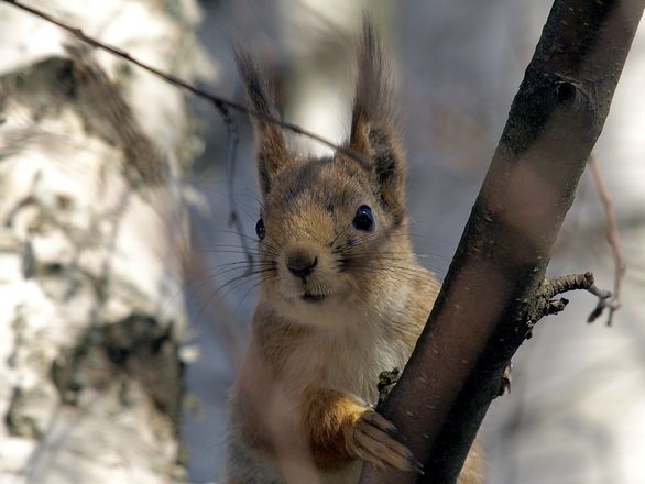 red-squirrel-1248232